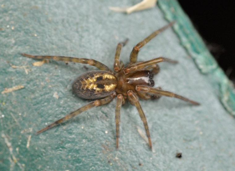 A.similis3